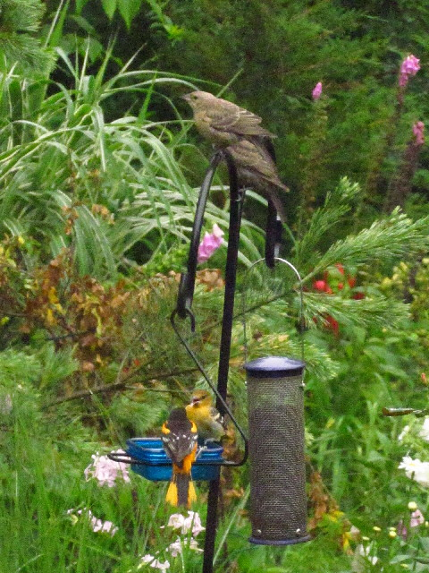 Oriole and cowbirds2 7:1:13