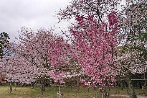 【写真】2013 桜 : 上賀茂神社/2020-09-09/IMGP9520