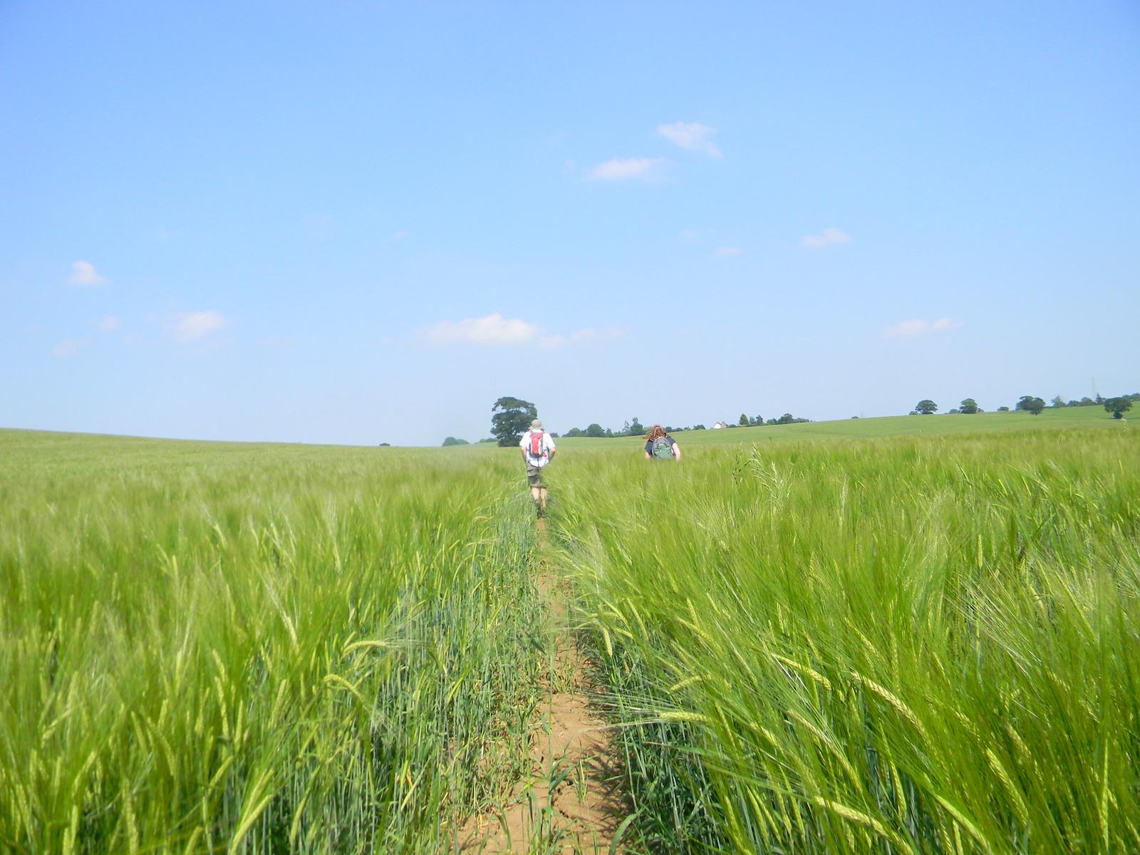 Barley field South Woodham Ferrers to North Fambridge