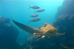 Lepopardenhai beim tauchen Phi Phi Island