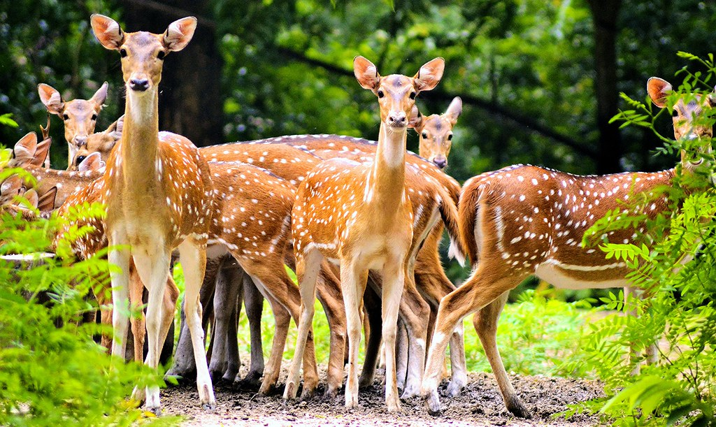 Bengal in Monsoon........ The Spotted Deer of Bethuadahari