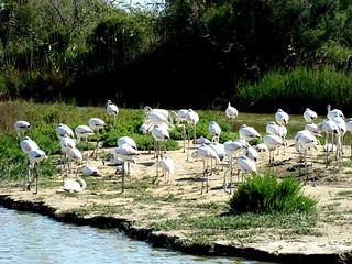 162 groep jonge flamingo's