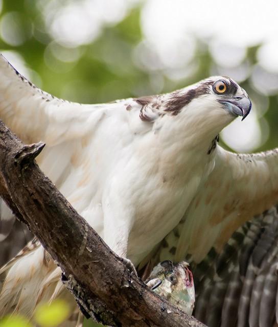 Osprey spreading wings