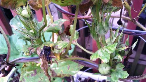 Ipomoea nil Tokiwayama seeds by Gerris2
