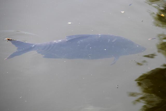 Big Fish, Leeds Liverpool Canal, Saltaire