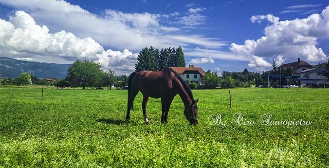 Switzerland - Cavallo al pascolo, - Horse grazing,Svizzera.