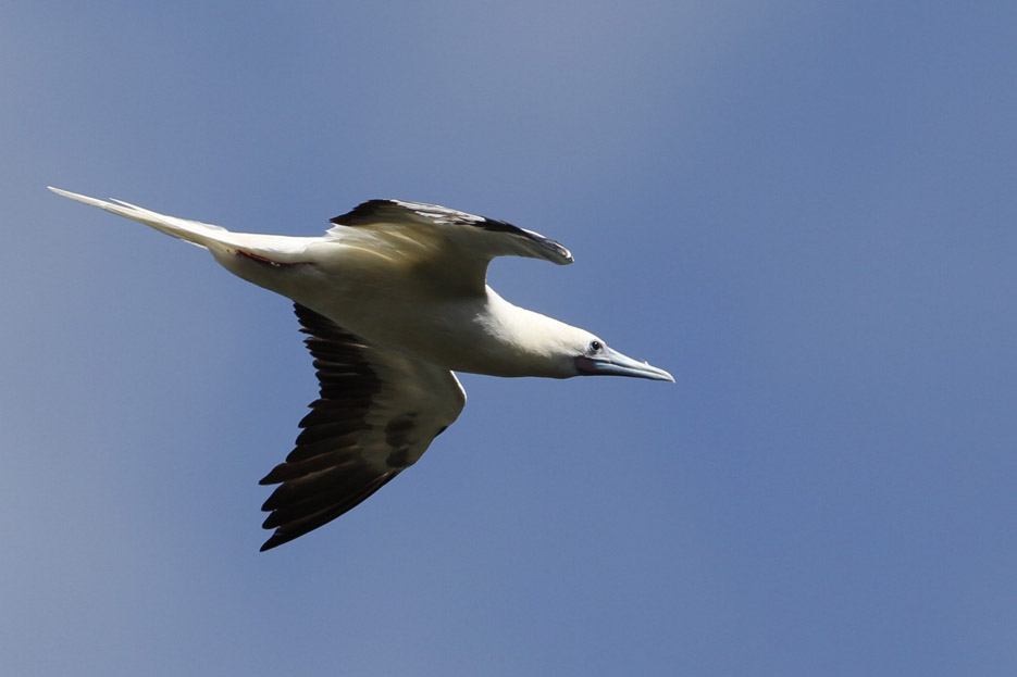 100513_08_list_redFootedBooby01
