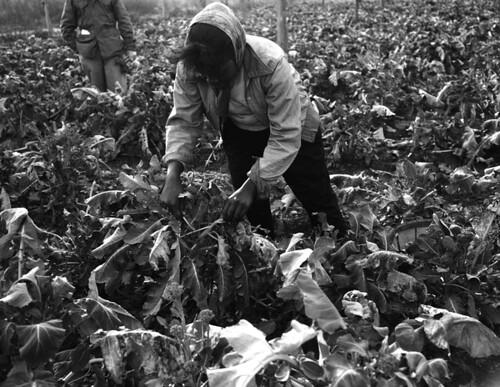 Harvesting broccoli at the American Sumatra Tobacco farm in Quincy, Florida