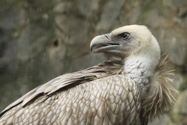 Himalyan Griffon Vulture