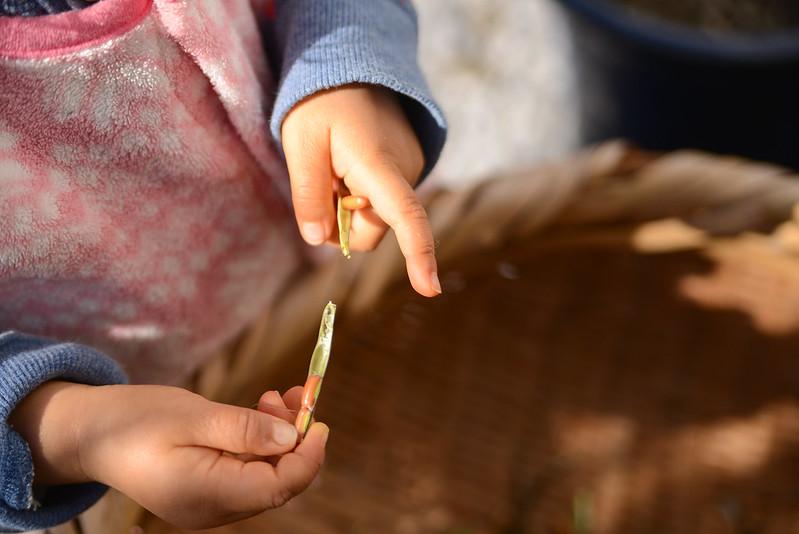 姪、小豆収穫
