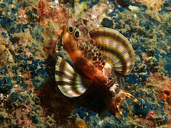 Two-spotted lionfish