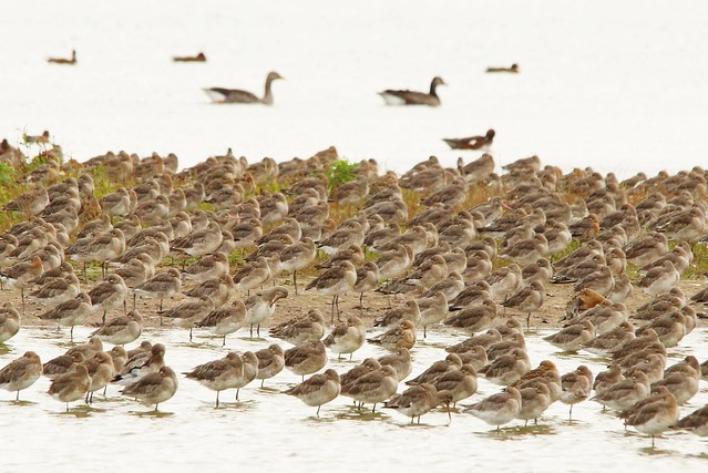 Flock of black-tailed godwits on coastal lake