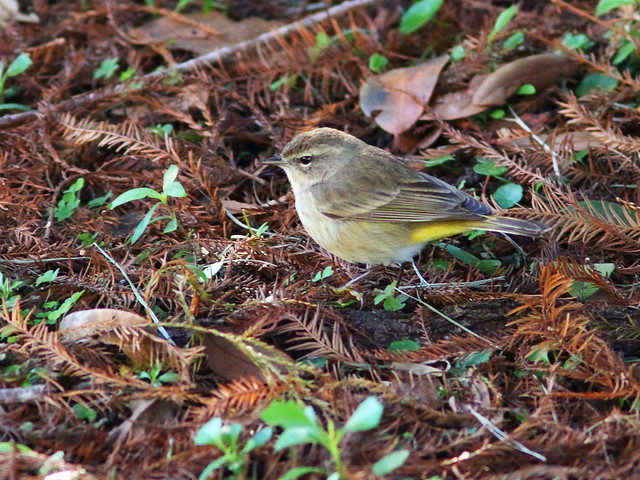 Palm Warbler in cypress litter 20140124