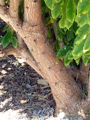 20140117_KapiolaniCC-CactusGarden_Pereskia-maybeGrandiflora_Cutler_P1630595