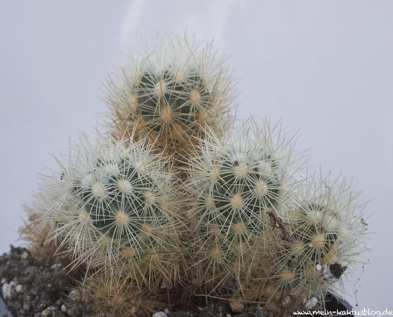 Acharagma galeanensis, Galeana, N.L.