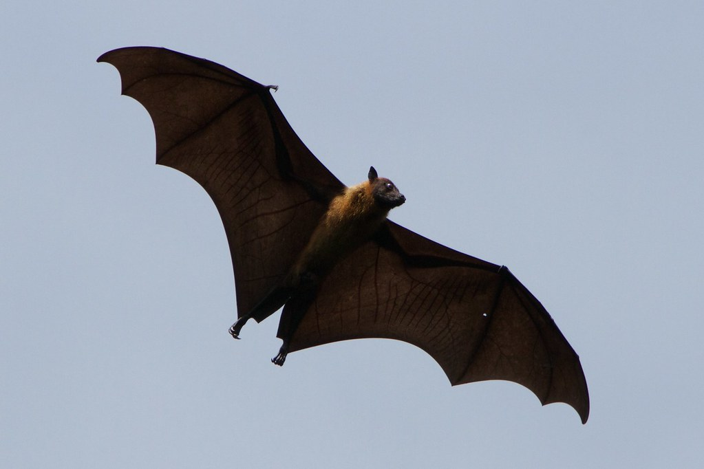 Fruitbat in flight | That's not a speck on the camera - many… | Flickr