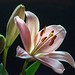 DSC_0041 - Lily on black by SWJuk
