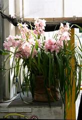 Cymbidium Hybride rosa