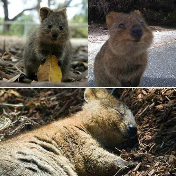#Quokka- The #happiest animal on Earth!