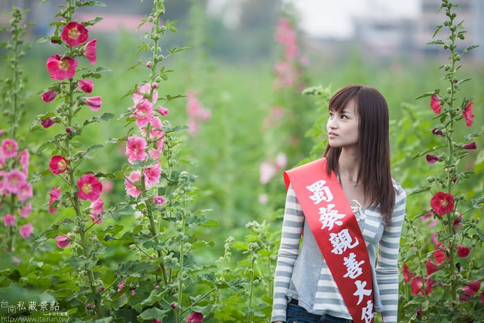 台南私藏景點--學甲寮平和里 X 蜀葵、小麥、羊群、老厝群 (2)