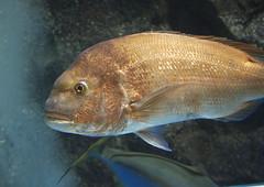 animal, fish, fish, marine biology, fauna, red seabream, aquarium,