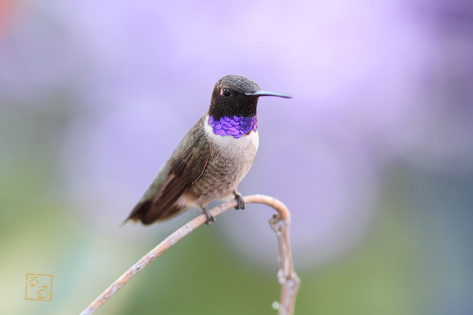 Black Chinned Hummingbird 032914