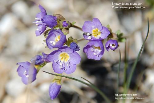 Showy Jacob's Ladder - Polemonium pulcherrimum