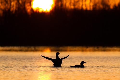 bird nature water birds pond wildlife looks migration loony burds wyldlife commonloons