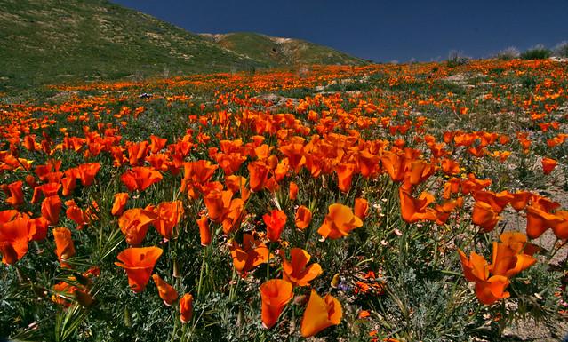 Poppies near Elizabeth Lake, California