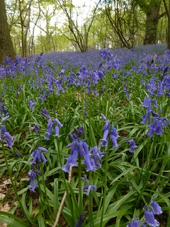 Bluebells on the Greensand Ridge