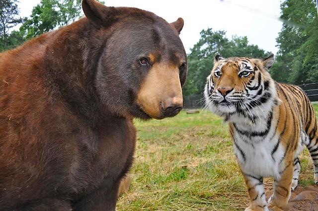 baloo-bear-lion-tiger-noahs-ark-rescue-3