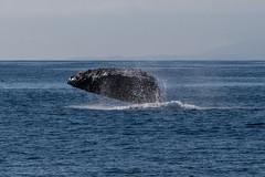 Breaching Humpback Whale. Humpback Whales 16July2015 Morro Bay CA