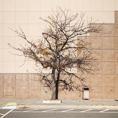 Ornamental locust tree at an abandoned Kohl's store.