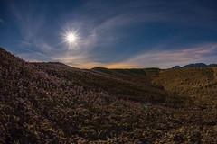 Anza-Borrego Desert Wildflower Super Bloom 2017