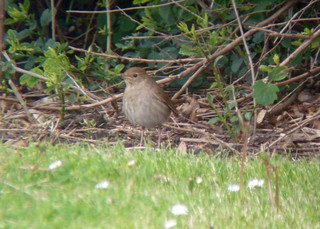 Thrush Nightingale, Hartlepool Headland