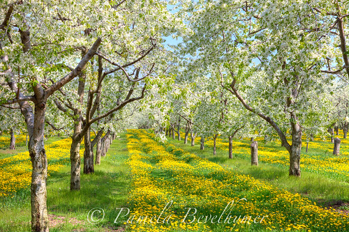Sutton's Bay Michigan, Cherry Orchard