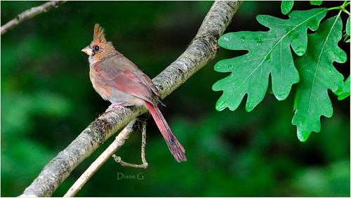 Juvenile Northern Cardinal   19