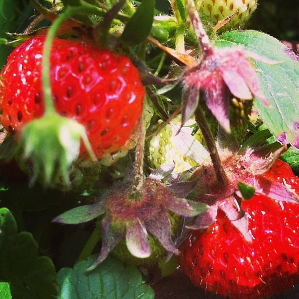 ripening #garden #organic