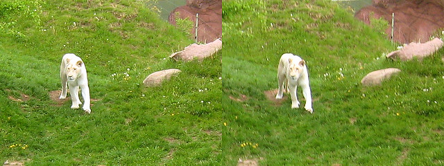 Toronto Zoo - White Lion 3D Stereogram