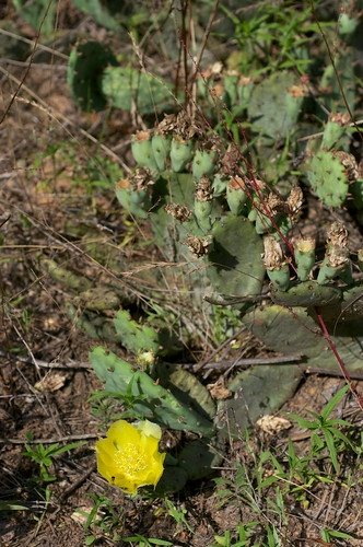 flower yellow opuntia cactaceae easternpricklypear opuntiahumifusavarhumifusa
