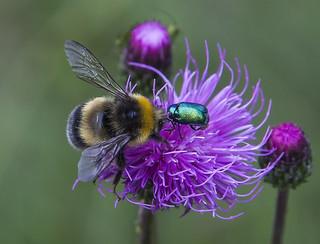 Bumblebee and bug