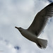 Seagull in flight by sunny_hels