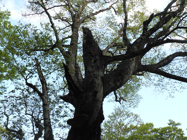 枯れ木にあけられた巣穴.今は使われているのだろうか?