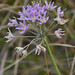 Small photo of Prairie Onion (Allium stellatum)