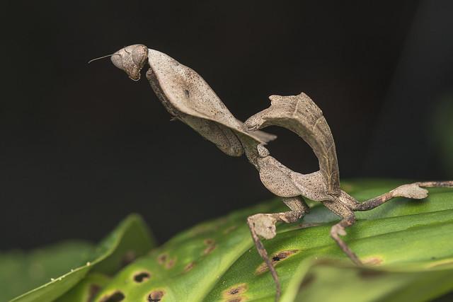 Dead leaf mantis.