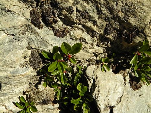 Rhamnus pumila=Nerprun nain