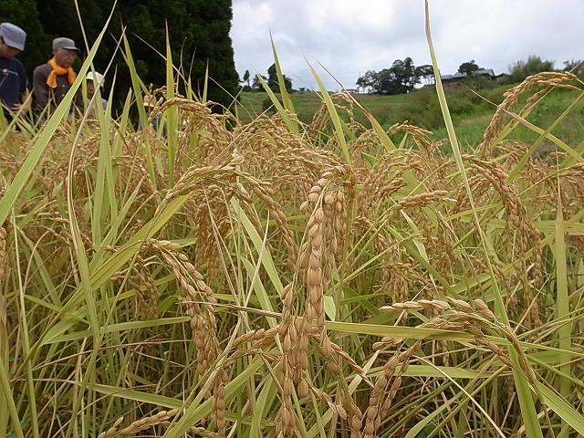 <p>a)稲がたわわに実ってます。これから収穫!</p>