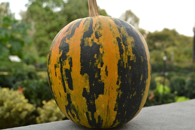 Cucurbita pepo 'Kakai' is an Austrian cultivar with green, hull-less seeds that are perfect for roasting. Photo by Blanca Begert.