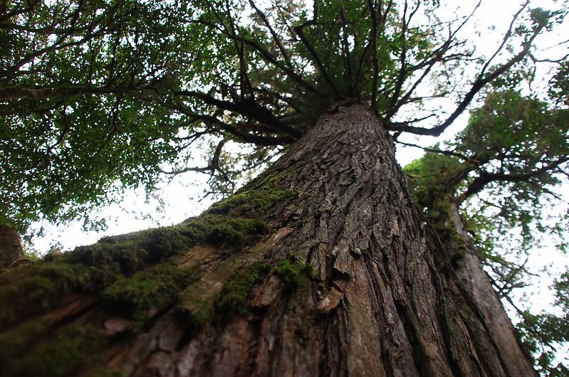 新仙山北稜巨木