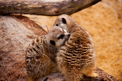 animal, mammal, fauna, close-up, meerkat, wildlife,